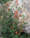 Arizona Globemallow