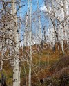 Aspens And Tundra
